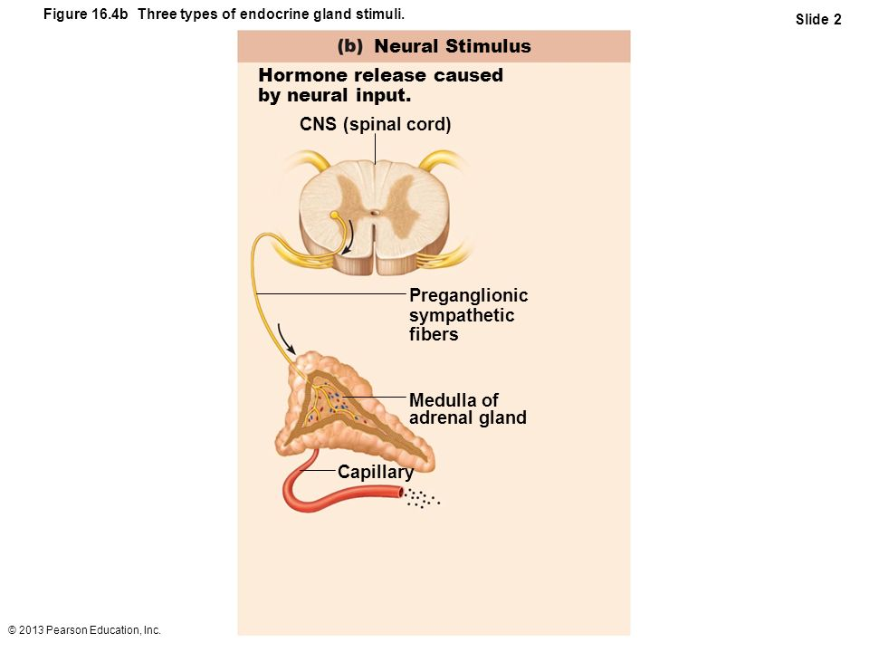 © 2013 Pearson Education, Inc. Figure 16.4b Three types of endocrine gland stimuli. Slide 2 Neural Stimulus Hormone release caused by neural input. CN