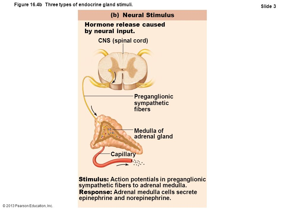 © 2013 Pearson Education, Inc. Figure 16.4b Three types of endocrine gland stimuli. Slide 3 Neural Stimulus Hormone release caused by neural input. St