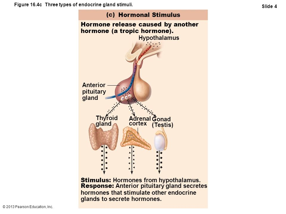 © 2013 Pearson Education, Inc. Figure 16.4c Three types of endocrine gland stimuli. Slide 4 Hormonal Stimulus Hormone release caused by another hormon