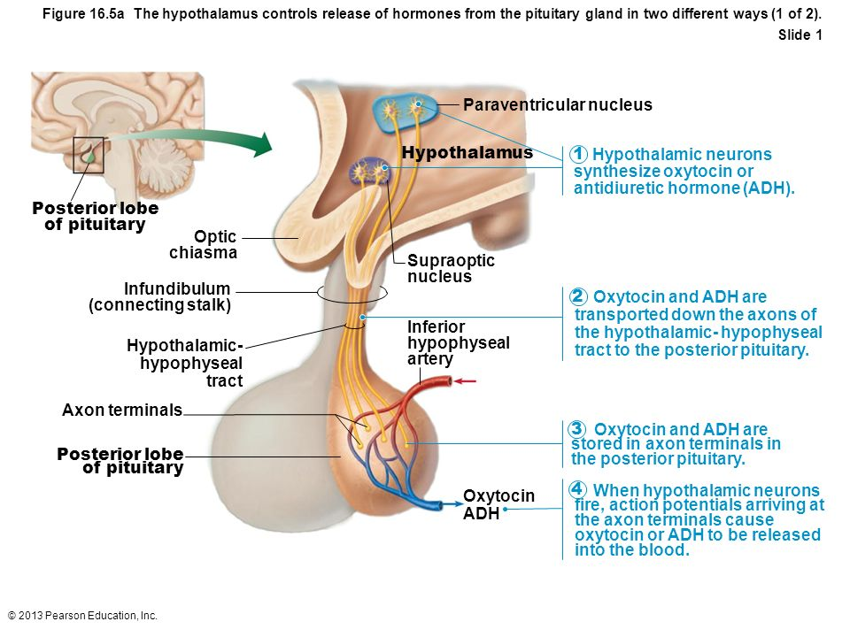 © 2013 Pearson Education, Inc. Figure 16.5a The hypothalamus controls release of hormones from the pituitary gland in two different ways (1 of 2). Sli