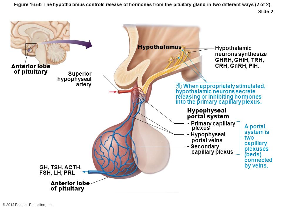 © 2013 Pearson Education, Inc. Figure 16.5b The hypothalamus controls release of hormones from the pituitary gland in two different ways (2 of 2). Sli