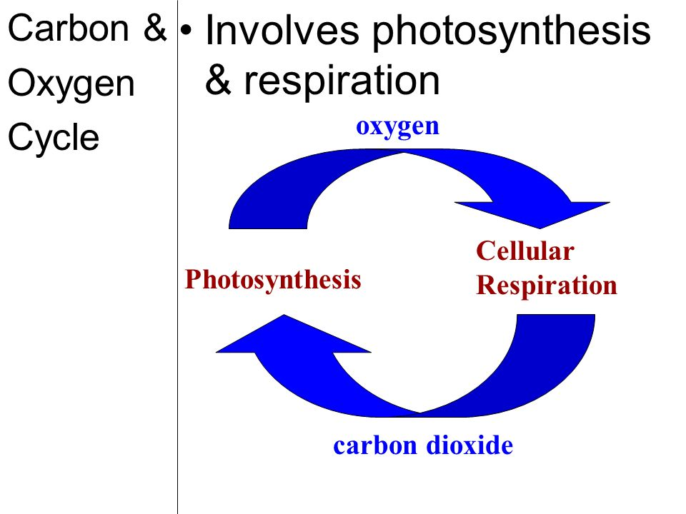Carbon & Oxygen Cycle Involves photosynthesis & respiration Cellular Respiration Photosynthesis carbon dioxide oxygen