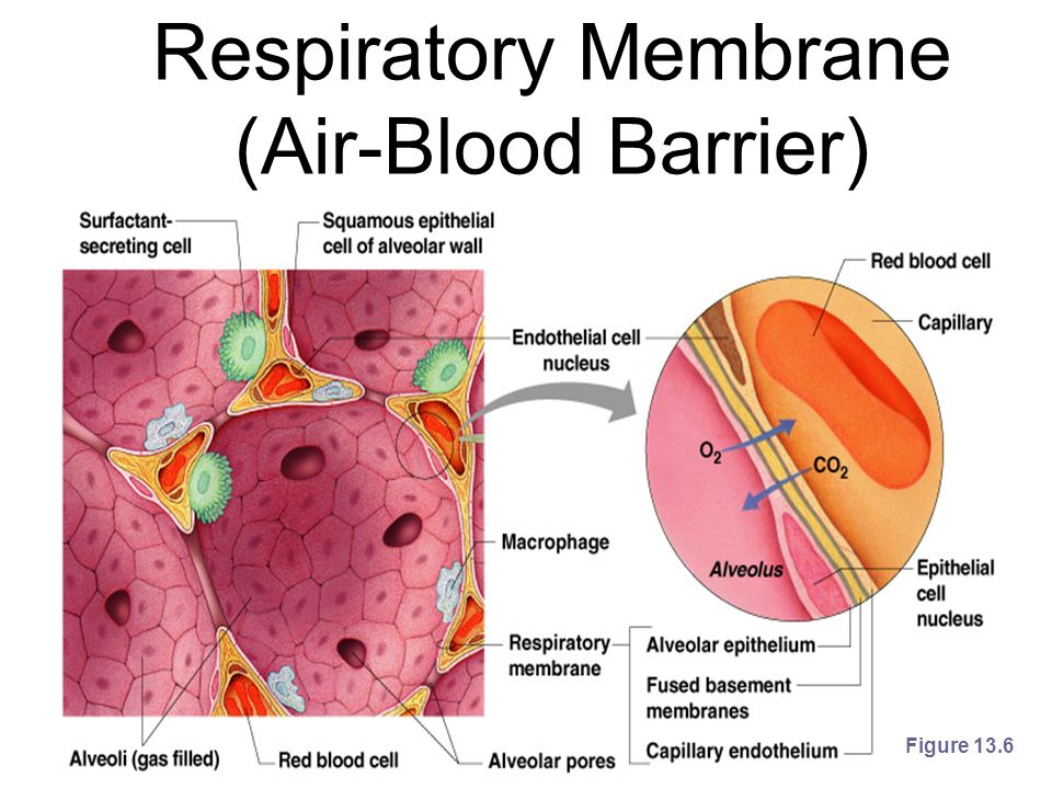 Respiratory Membrane (Air-Blood Barrier) Figure 13.6