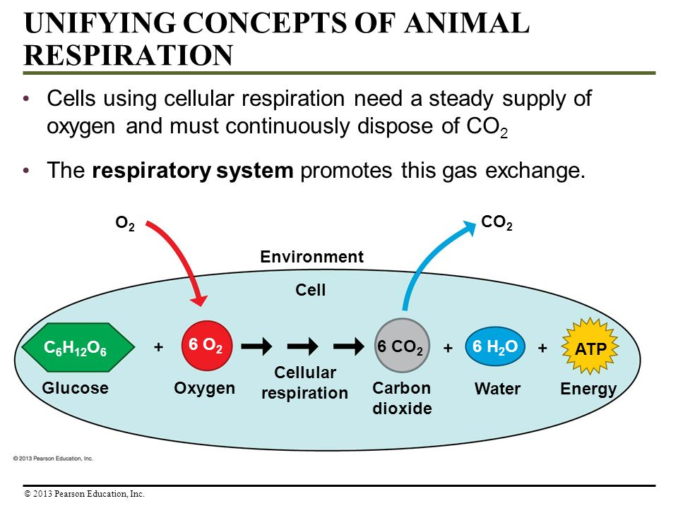 UNIFYING CONCEPTS OF ANIMAL RESPIRATION Cells using cellular respiration need a steady supply of oxygen and must continuously dispose of CO 2 The resp