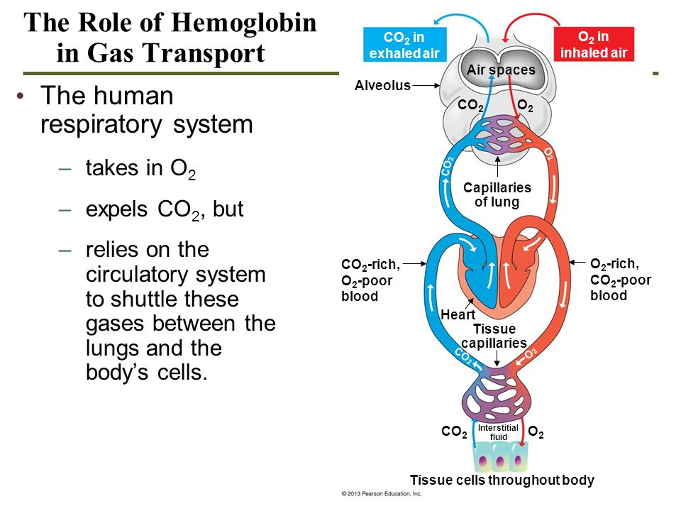 The Role of Hemoglobin in Gas Transport The human respiratory system –takes in O 2 –expels CO 2, but –relies on the circulatory system to shuttle thes