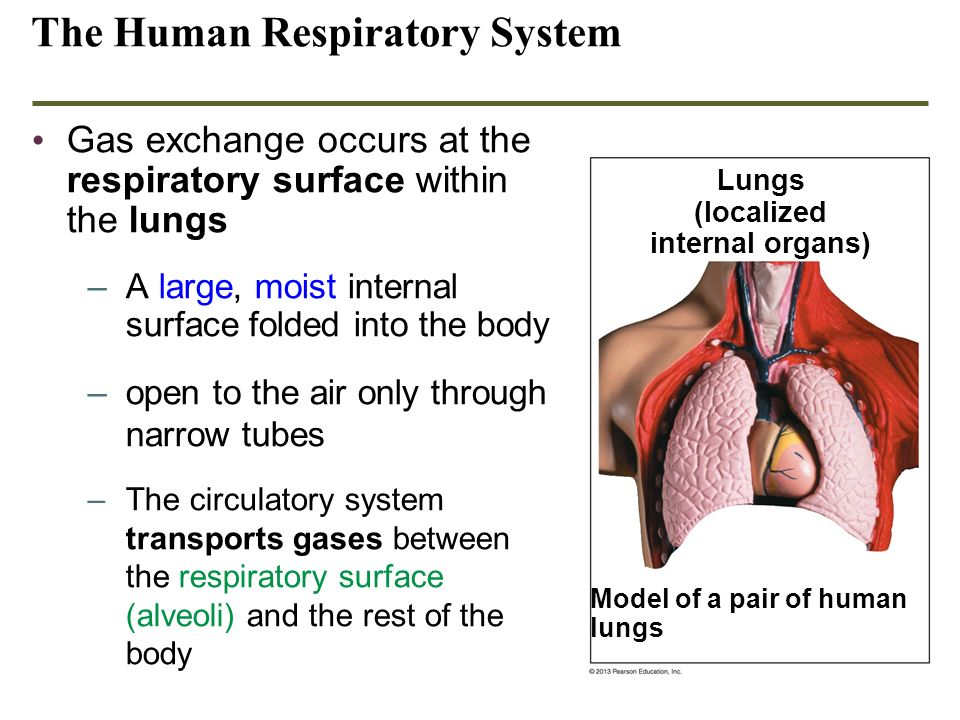 The Human Respiratory System Gas exchange occurs at the respiratory surface within the lungs –A large, moist internal surface folded into the body –op
