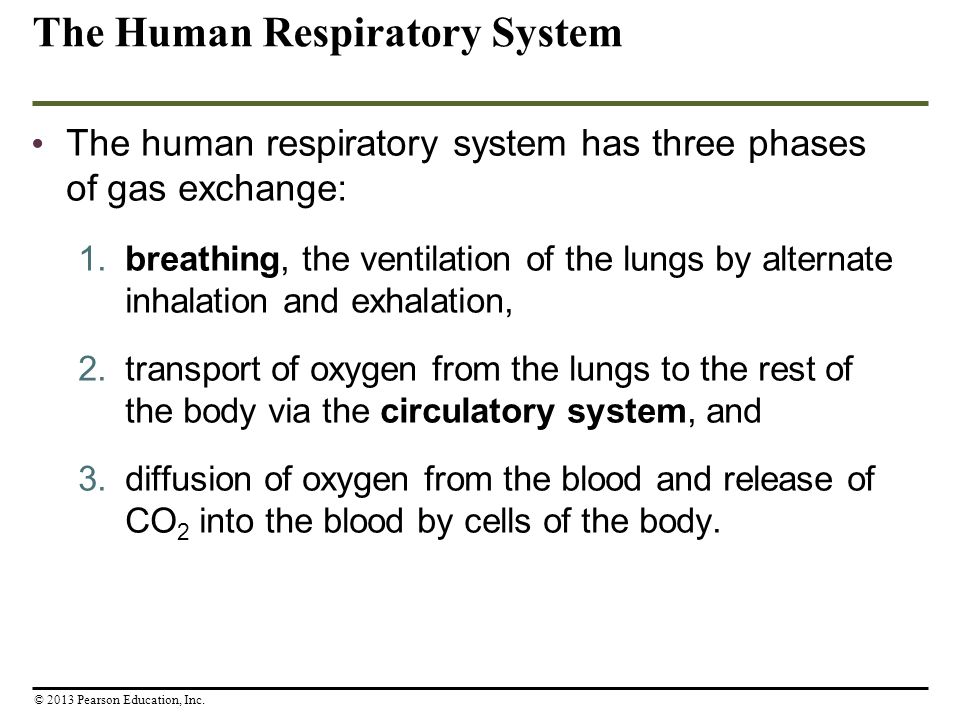 The Human Respiratory System The human respiratory system has three phases of gas exchange: 1. breathing, the ventilation of the lungs by alternate in