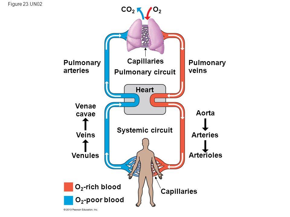Figure 23.UN02 Pulmonary arteries CO 2 O 2 -rich blood O2O2 Pulmonary veins Pulmonary circuit O 2 -poor blood Capillaries Systemic circuit Heart Capil