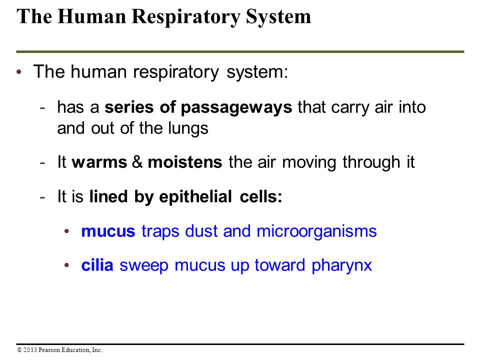 The Human Respiratory System The human respiratory system: -has a series of passageways that carry air into and out of the lungs -It warms & moistens
