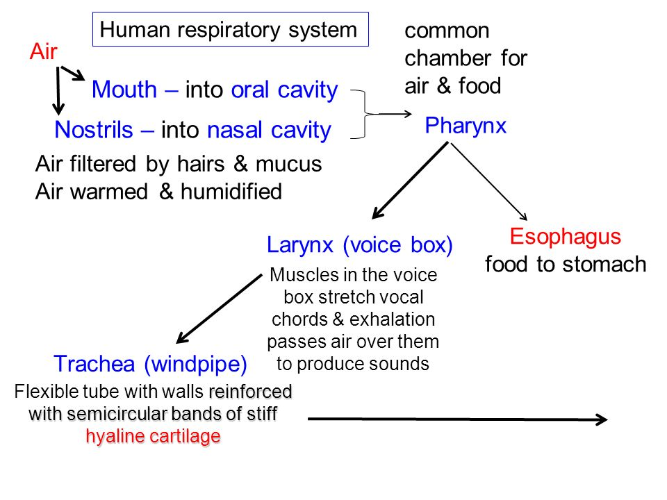 The Role of Hemoglobin in Gas Transport The human respiratory system –takes in O 2 –expels CO 2, but –relies on the circulatory system to shuttle these gases between the lungs and the bodys cells.