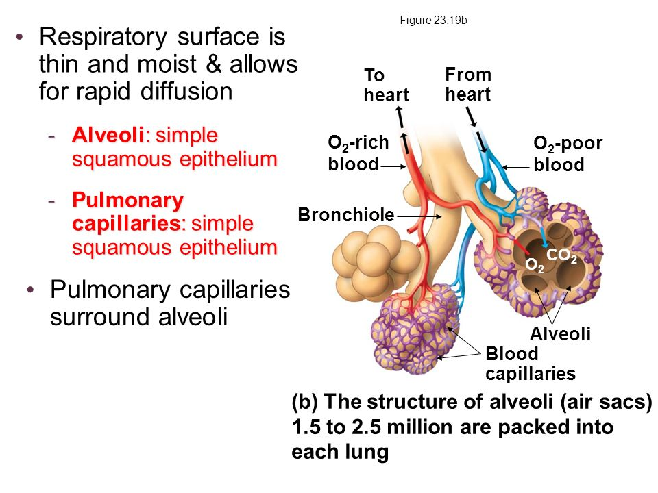 Figure 23.19b (b) The structure of alveoli (air sacs) 1.5 to 2.5 million are packed into each lung Bronchiole Blood capillaries From heart To heart Al