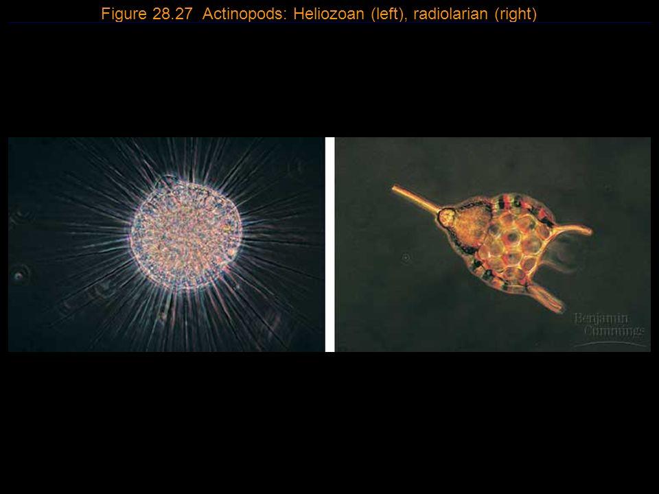 15 Figure 28.27 Actinopods: Heliozoan (left), radiolarian (right)