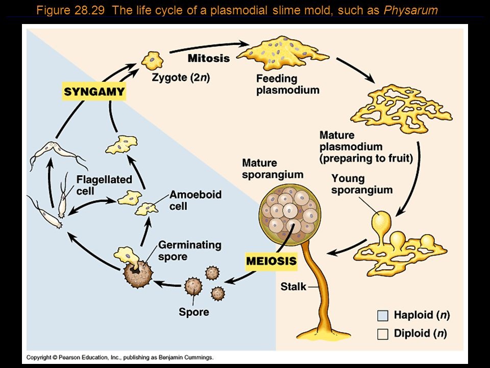 20 Figure 28.29 The life cycle of a plasmodial slime mold, such as Physarum