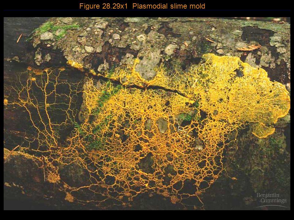 21 Figure 28.29x1 Plasmodial slime mold