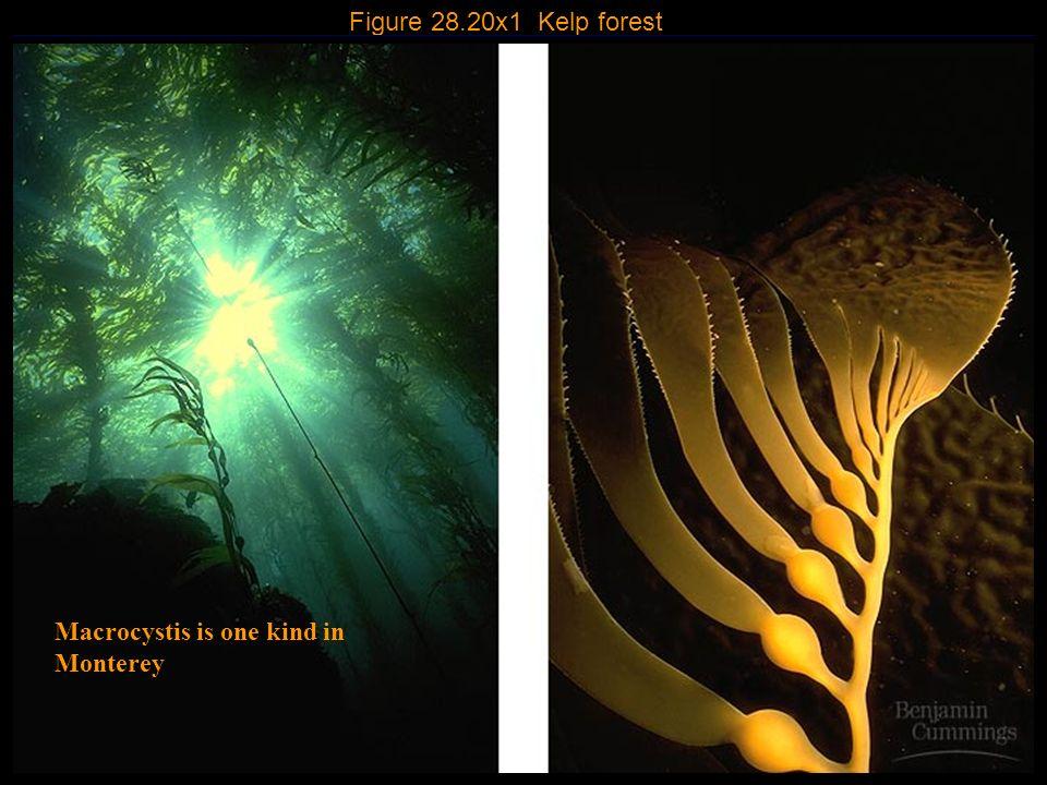 4 Figure 28.20x1 Kelp forest Macrocystis is one kind in Monterey