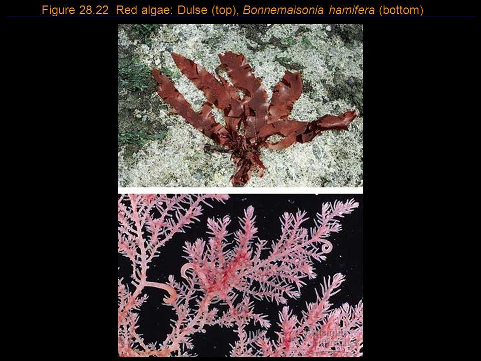 9 Figure 28.22 Red algae: Dulse (top), Bonnemaisonia hamifera (bottom)
