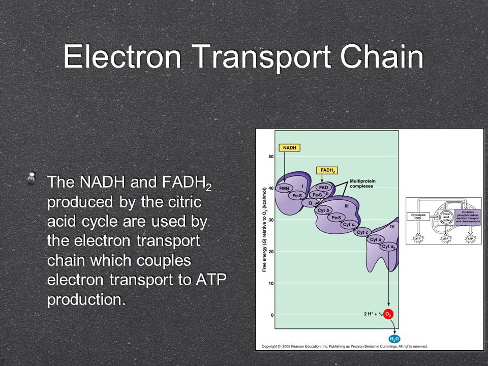 Electron Transport Chain The NADH and FADH 2 produced by the citric acid cycle are used by the electron transport chain which couples electron transpo