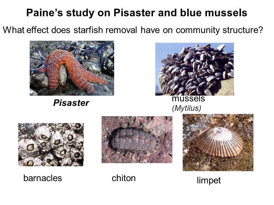 Pisaster Paines study on Pisaster and blue mussels What effect does starfish removal have on community structure? chiton limpet mussels (Mytilus) barn
