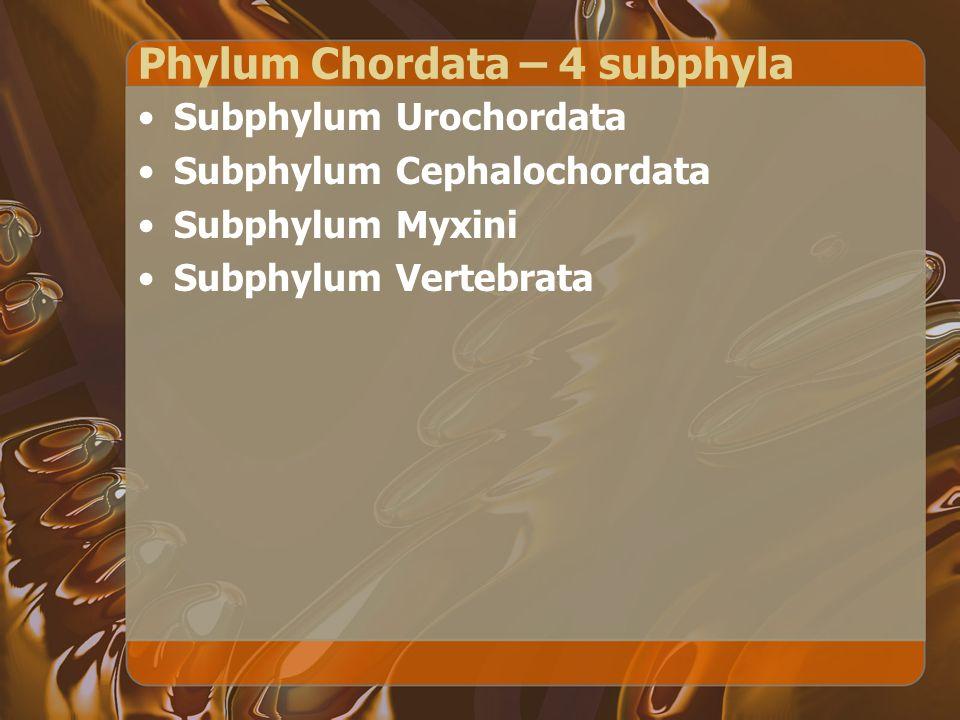 Phylum Chordata – 4 subphyla Subphylum Urochordata Subphylum Cephalochordata Subphylum Myxini Subphylum Vertebrata