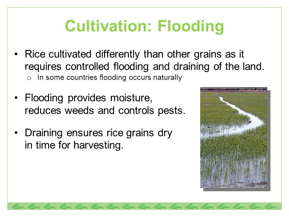 Cultivation: Flooding Rice cultivated differently than other grains as it requires controlled flooding and draining of the land. o In some countries f