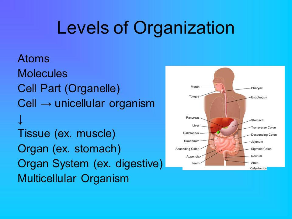 Levels of Organization Atoms Molecules Cell Part (Organelle) Cell unicellular organism Tissue (ex. muscle) Organ (ex. stomach) Organ System (ex. diges