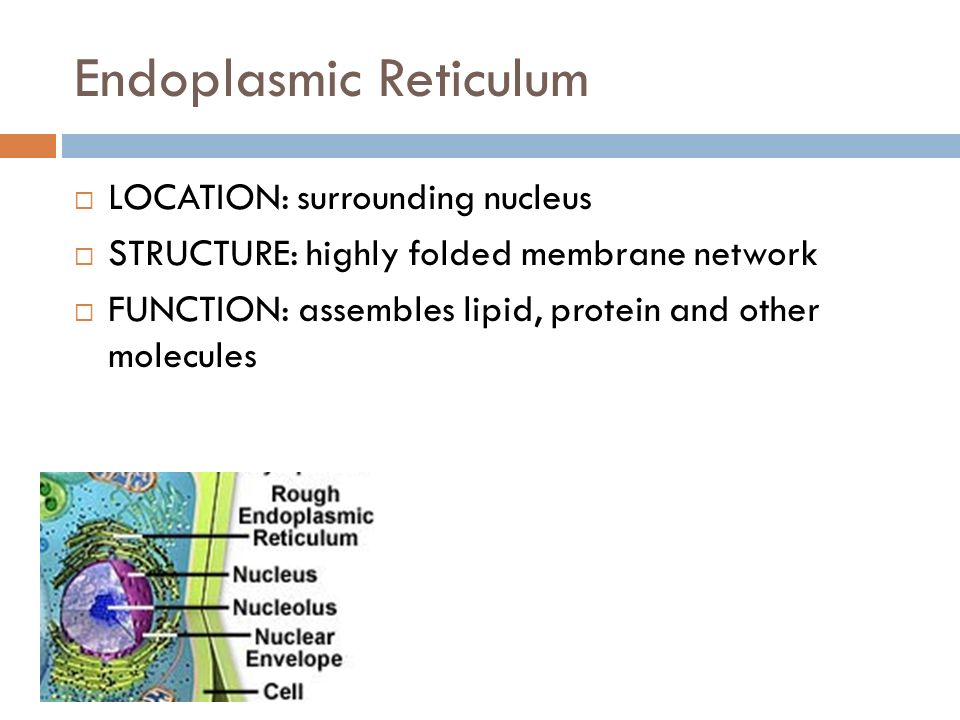 Endoplasmic Reticulum LOCATION: surrounding nucleus STRUCTURE: highly folded membrane network FUNCTION: assembles lipid, protein and other molecules
