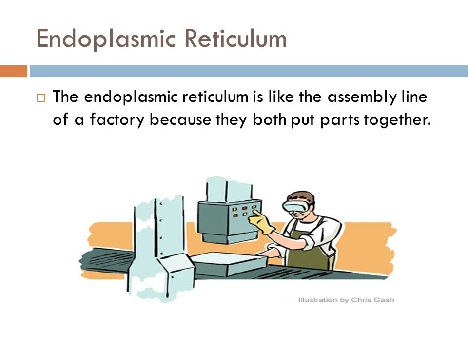 Endoplasmic Reticulum The endoplasmic reticulum is like the assembly line of a factory because they both put parts together.