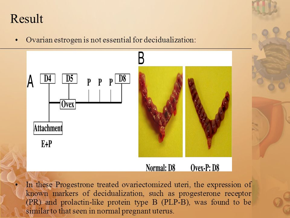 Result Ovarian estrogen is not essential for decidualization: In these Progestrone treated ovariectomized uteri, the expression of known markers of decidualization, such as progesterone receptor (PR) and prolactin-like protein type B (PLP-B), was found to be similar to that seen in normal pregnant uterus.