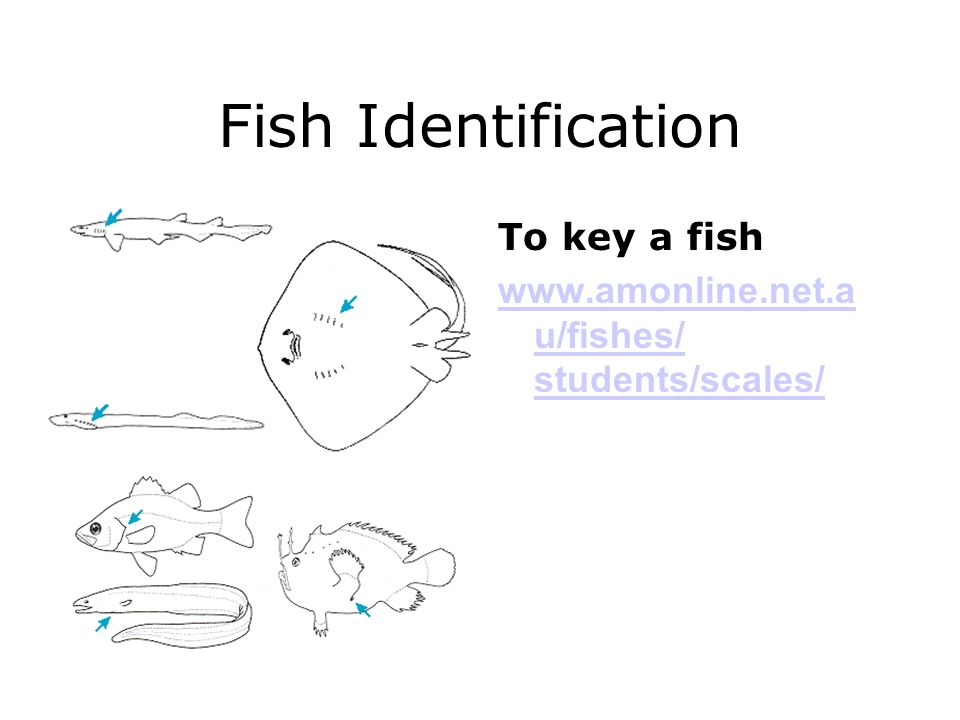 Fish Identification To key a fish www.amonline.net.a u/fishes/ students/scales/