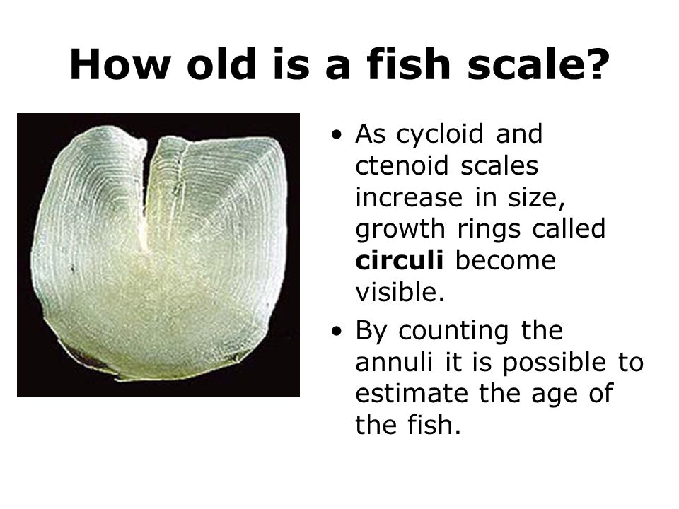 How old is a fish scale? As cycloid and ctenoid scales increase in size, growth rings called circuli become visible. By counting the annuli it is poss