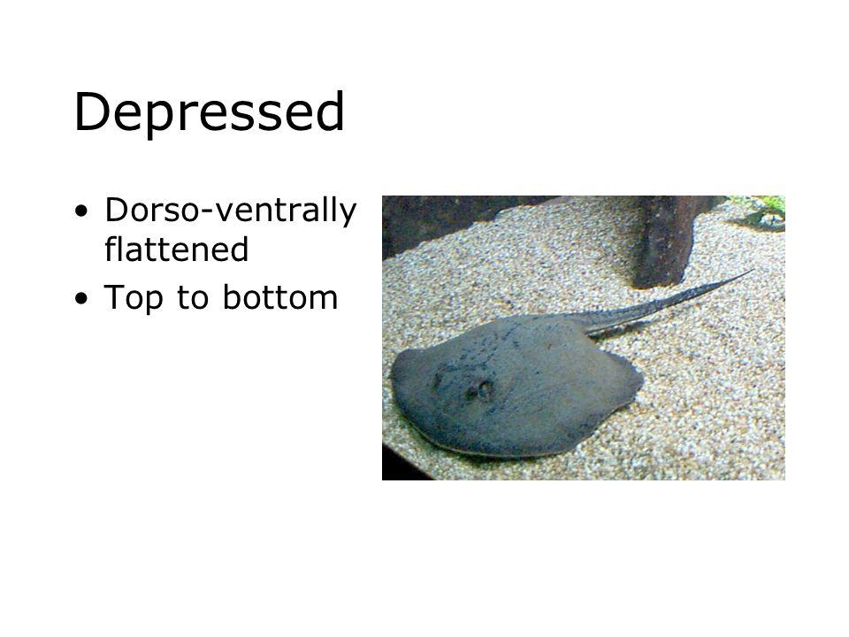 Depressed Dorso-ventrally flattened Top to bottom