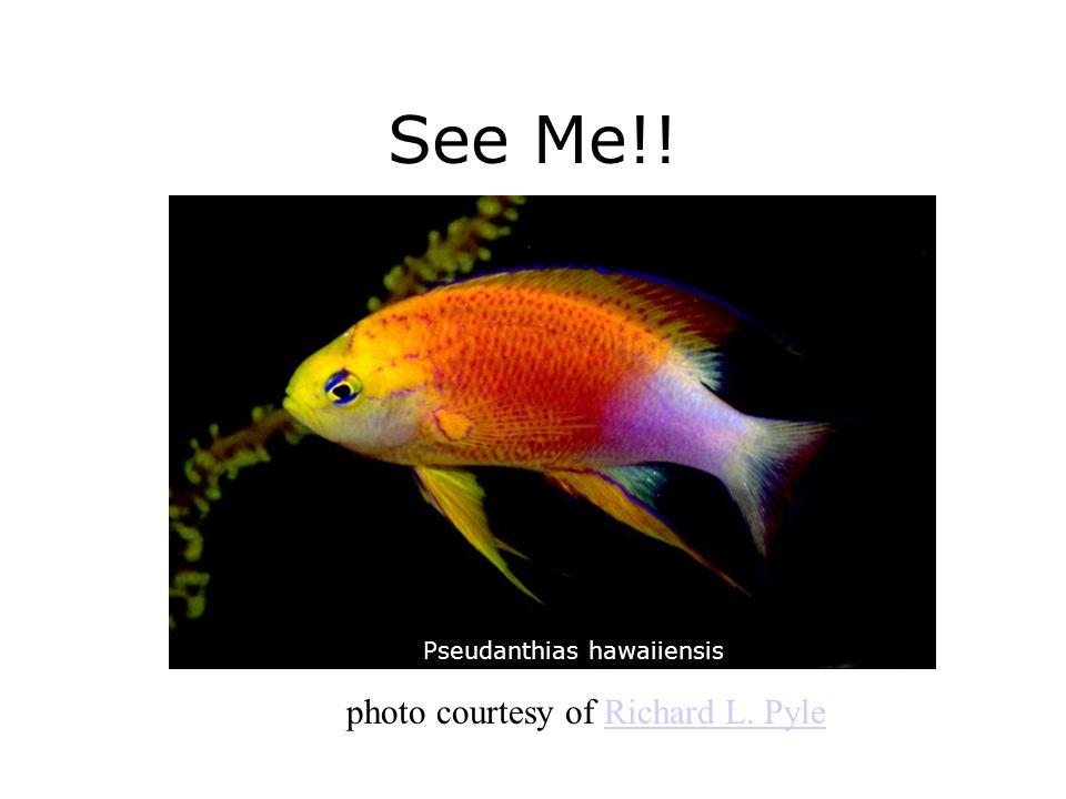 See Me!! Pseudanthias hawaiiensis photo courtesy of Richard L. PyleRichard L. Pyle