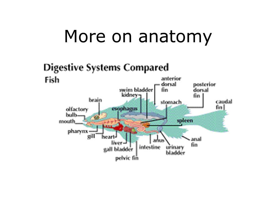 More on anatomy