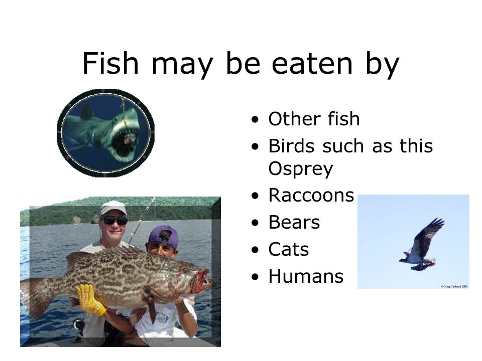 Fish may be eaten by Other fish Birds such as this Osprey Raccoons Bears Cats Humans