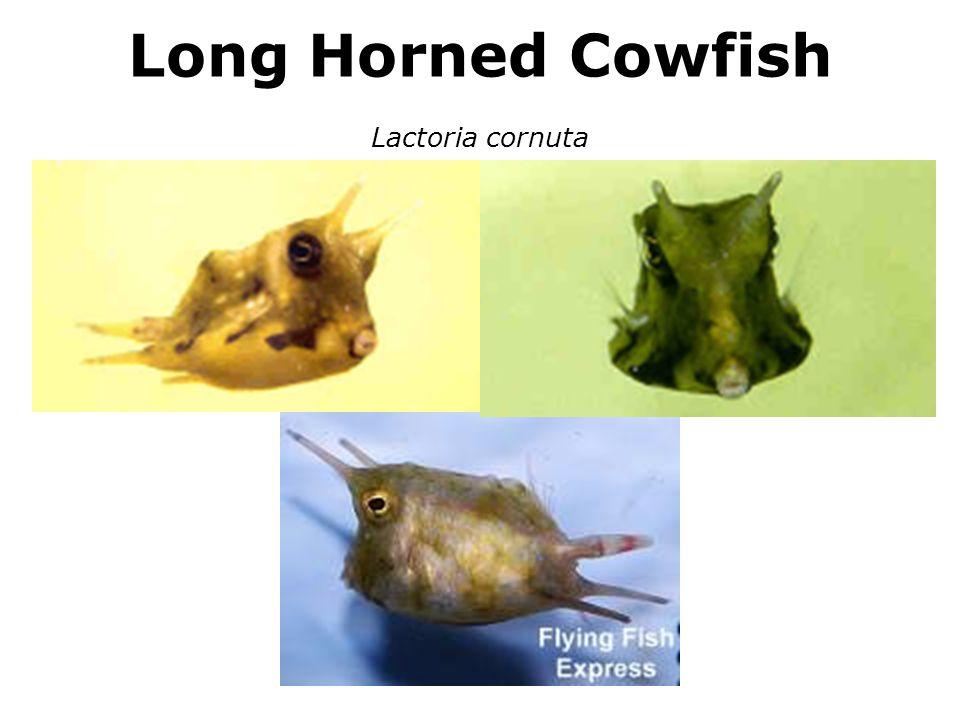 Long Horned Cowfish Lactoria cornuta