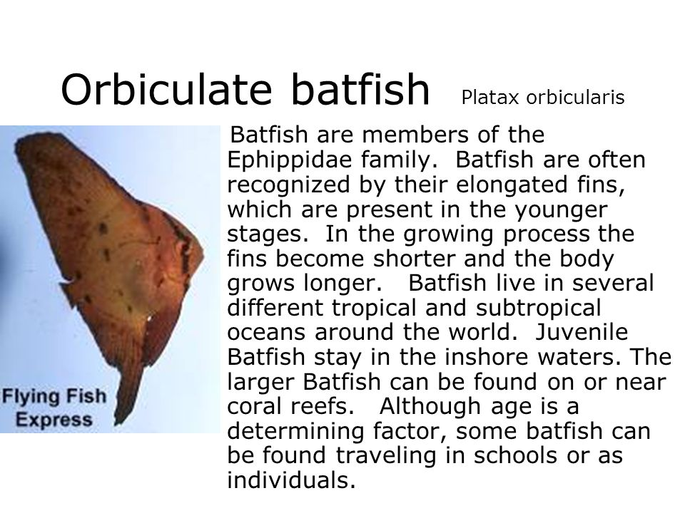 Orbiculate batfish Platax orbicularis Batfish are members of the Ephippidae family. Batfish are often recognized by their elongated fins, which are pr