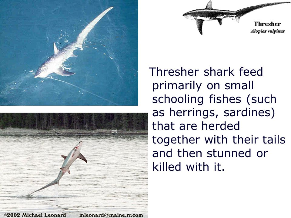 Thresher shark feed primarily on small schooling fishes (such as herrings, sardines) that are herded together with their tails and then stunned or kil
