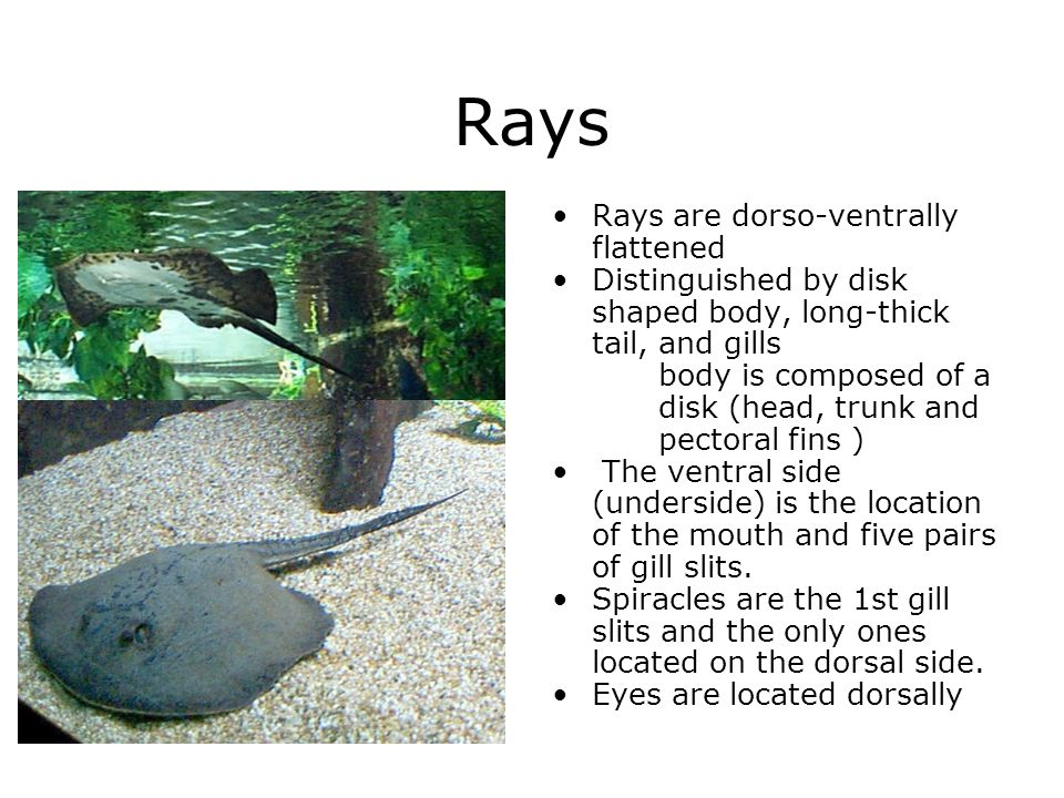 Rays Rays are dorso-ventrally flattened Distinguished by disk shaped body, long-thick tail, and gills body is composed of a disk (head, trunk and pect