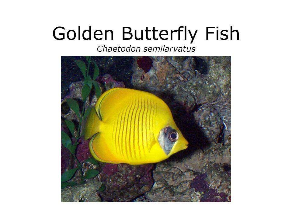 Golden Butterfly Fish Chaetodon semilarvatus