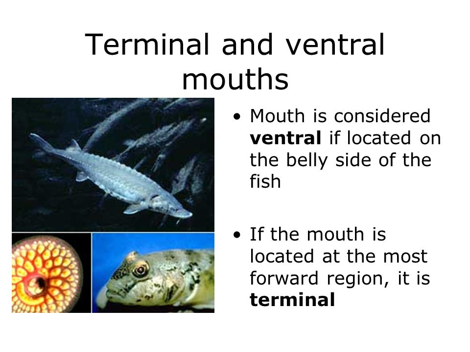 Terminal and ventral mouths Mouth is considered ventral if located on the belly side of the fish If the mouth is located at the most forward region, i