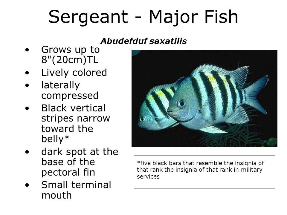 Sergeant - Major Fish Abudefduf saxatilis Grows up to 8