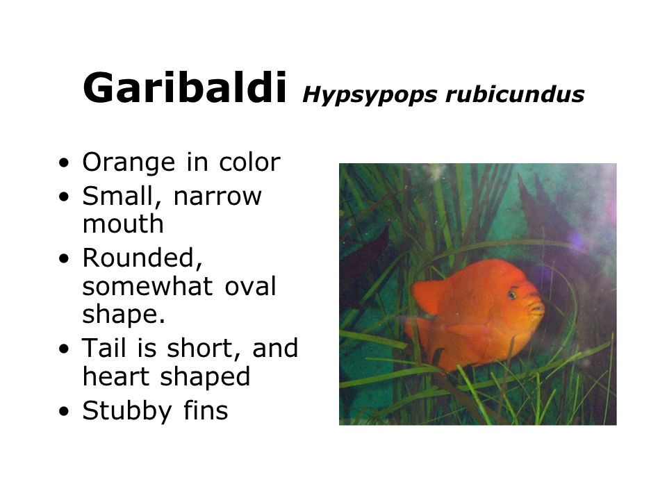 Garibaldi Hypsypops rubicundus Orange in color Small, narrow mouth Rounded, somewhat oval shape. Tail is short, and heart shaped Stubby fins