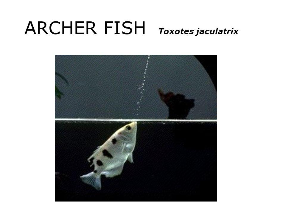 ARCHER FISH Toxotes jaculatrix