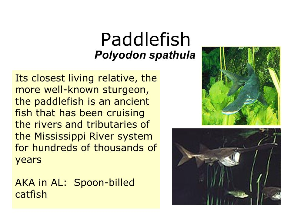 Paddlefish Polyodon spathula Its closest living relative, the more well-known sturgeon, the paddlefish is an ancient fish that has been cruising the r