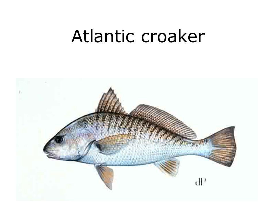 Atlantic croaker