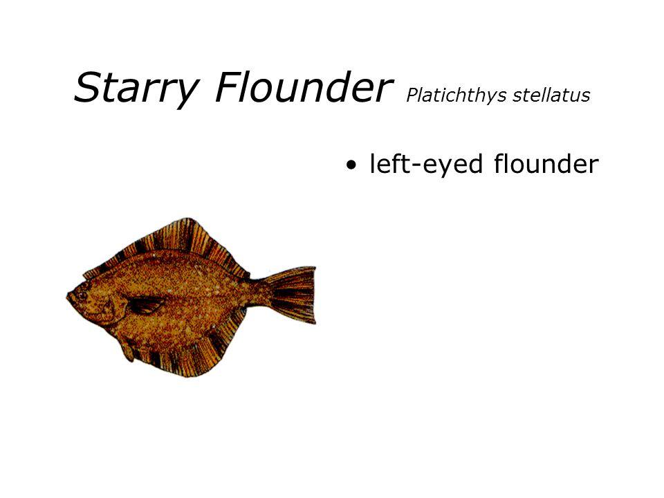 Starry Flounder Platichthys stellatus left-eyed flounder