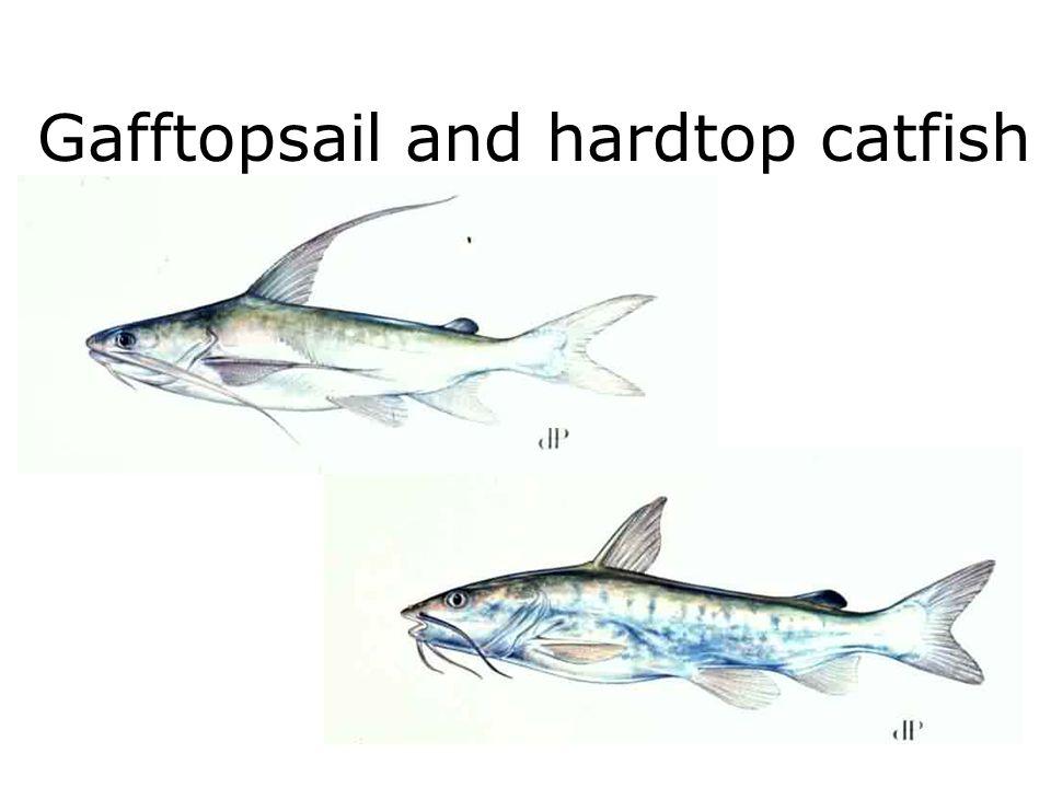 Gafftopsail and hardtop catfish