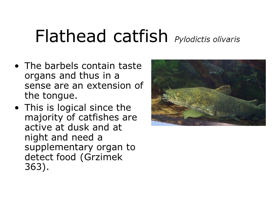 Flathead catfish Pylodictis olivaris The barbels contain taste organs and thus in a sense are an extension of the tongue. This is logical since the ma