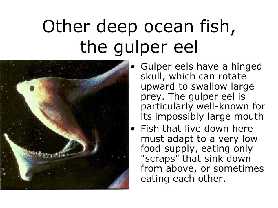 Other deep ocean fish, the gulper eel Gulper eels have a hinged skull, which can rotate upward to swallow large prey. The gulper eel is particularly w