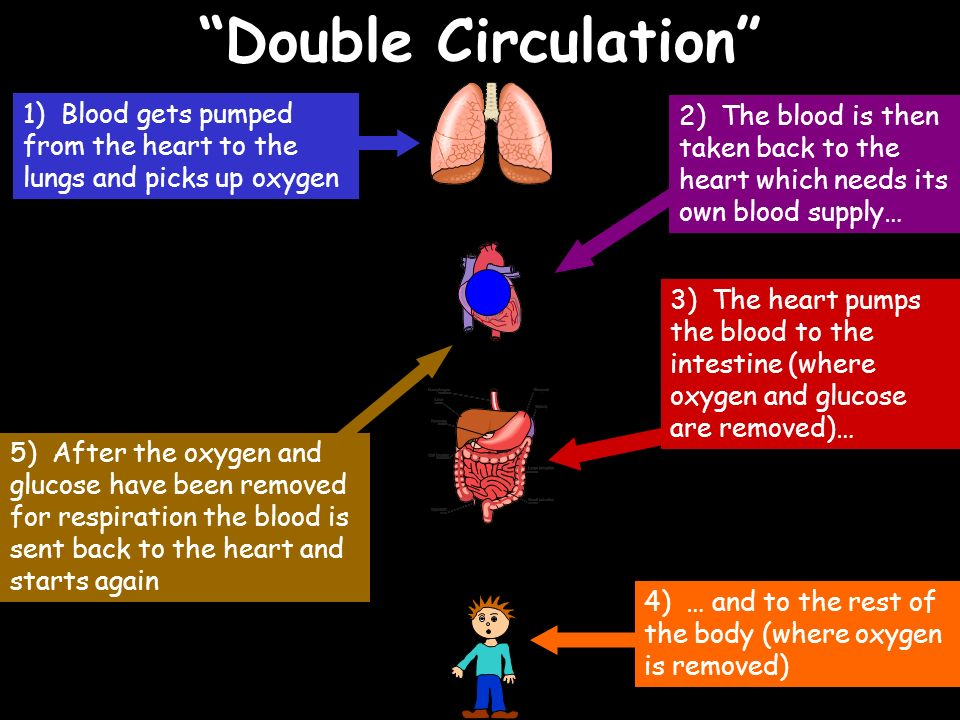 Double Circulation 1) Blood gets pumped from the heart to the lungs and picks up oxygen 2) The blood is then taken back to the heart which needs its o